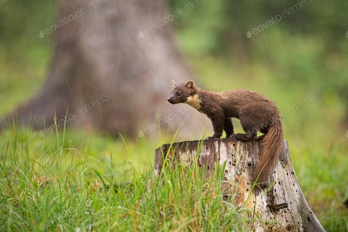 European pine marten, martes martes, standing on a stump in forest in rain