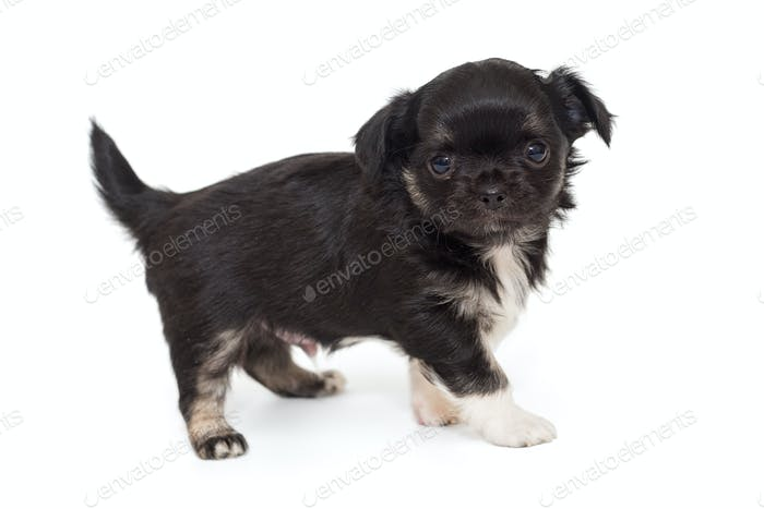 Small black Chihuahua puppy