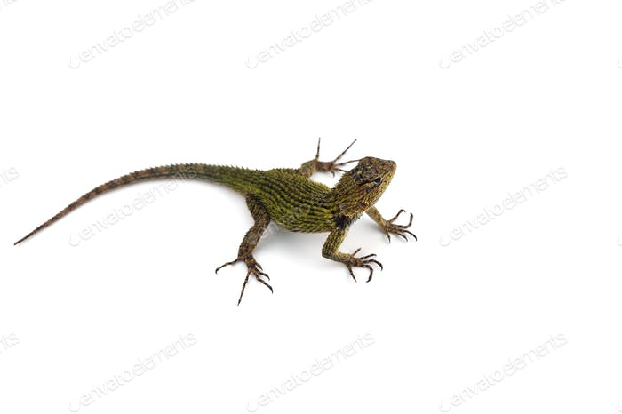Green spiny lizard isolated on white background