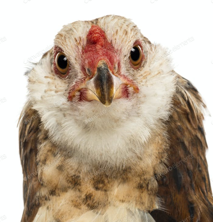 Close-up of an Araucana, 5 months old, looking at camera against white background