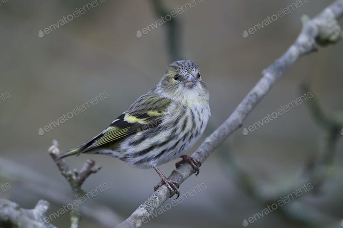 Thumbnail for Eurasischer Siskin (Spinus spinus)