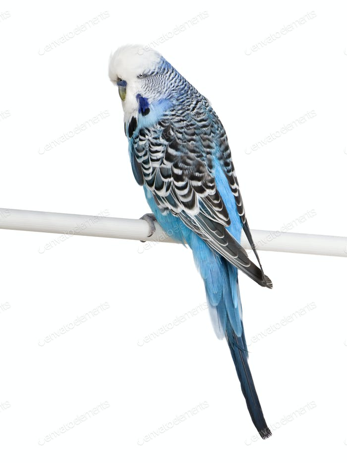 Blue Budgerigar bird perched on pole in front of white background, studio shot
