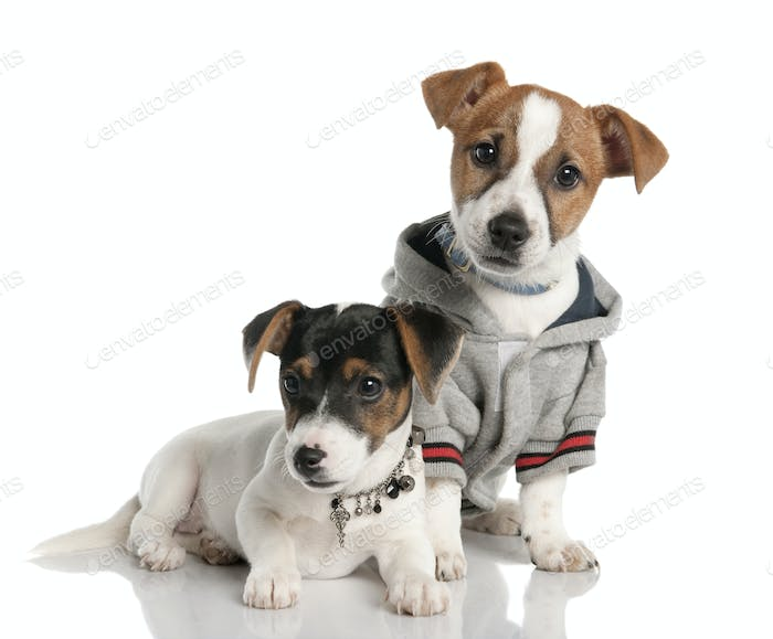two Jack russell puppy (3 months old)