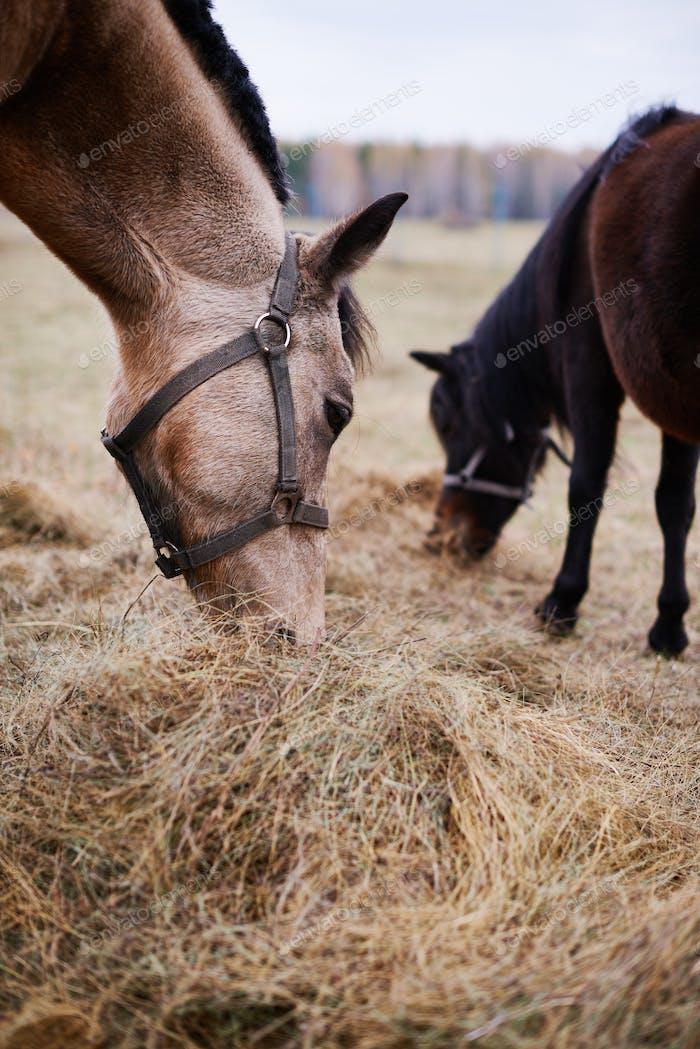 Two Horses Eating Dry Grass Fodder