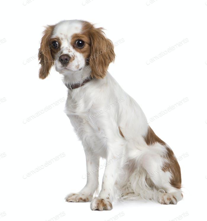 Cavalier King Charles Spaniel (1 year)