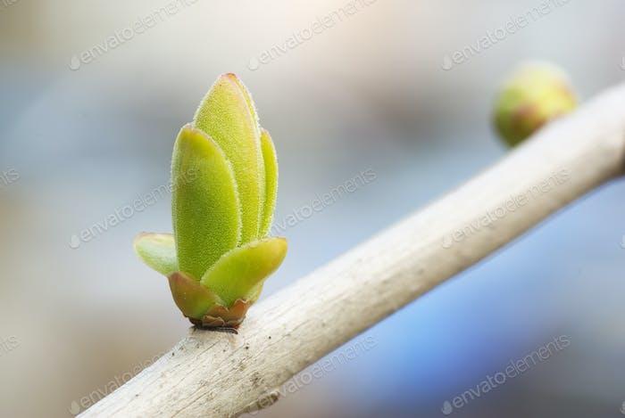 Spring bud nature