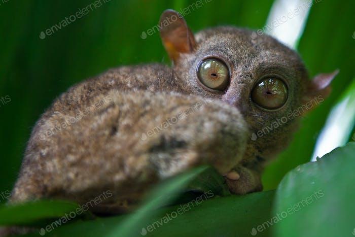 Boholian wild tarsier