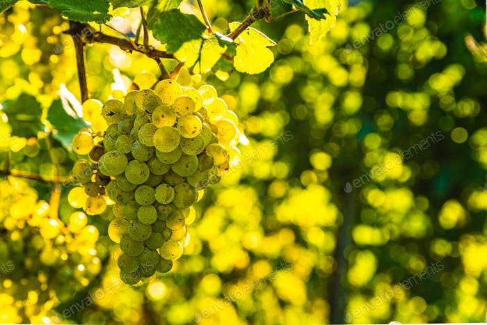 Green grapes on vine stock at wine yard, Austria south Styria