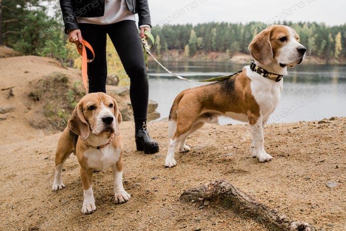 Junge Frau in Skinny Jeans und Lederjacke chilling mit niedlichen Beagle Welpen