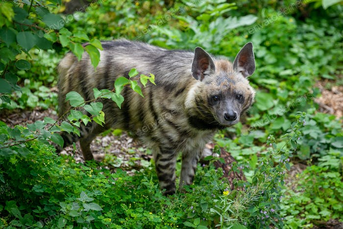 Striped hyena, Hyaena hyaena. Animal in the nature habitat
