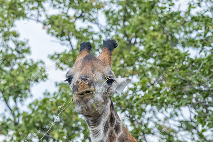 South African Giraffe browsing on a tree
