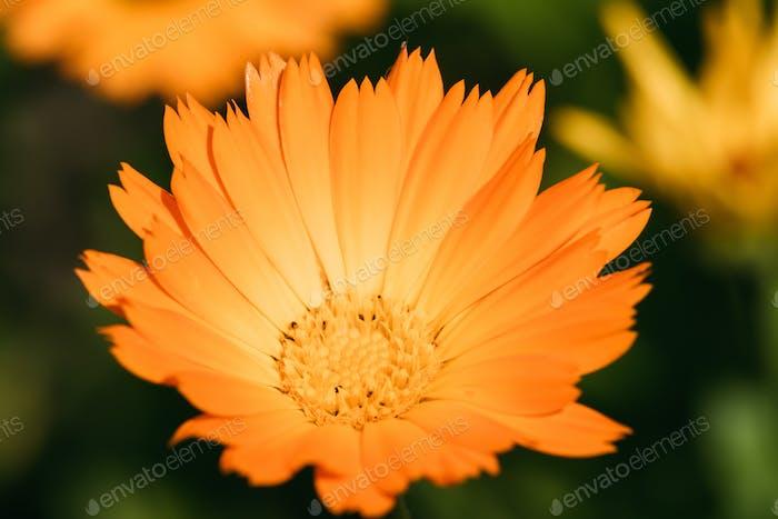 Orange Blume von Calendula Officinalis. Heilpflanze