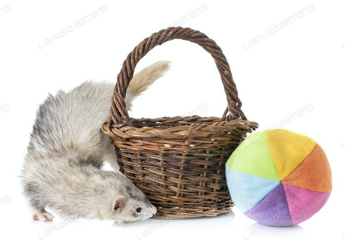 gray ferret in studio