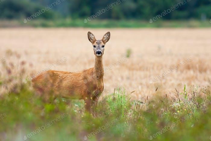 Adorable roe deer doe looking on side of grain field in countryside