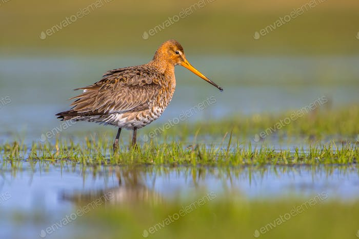 Black tailed Godwit standing in shallow water of a wetland