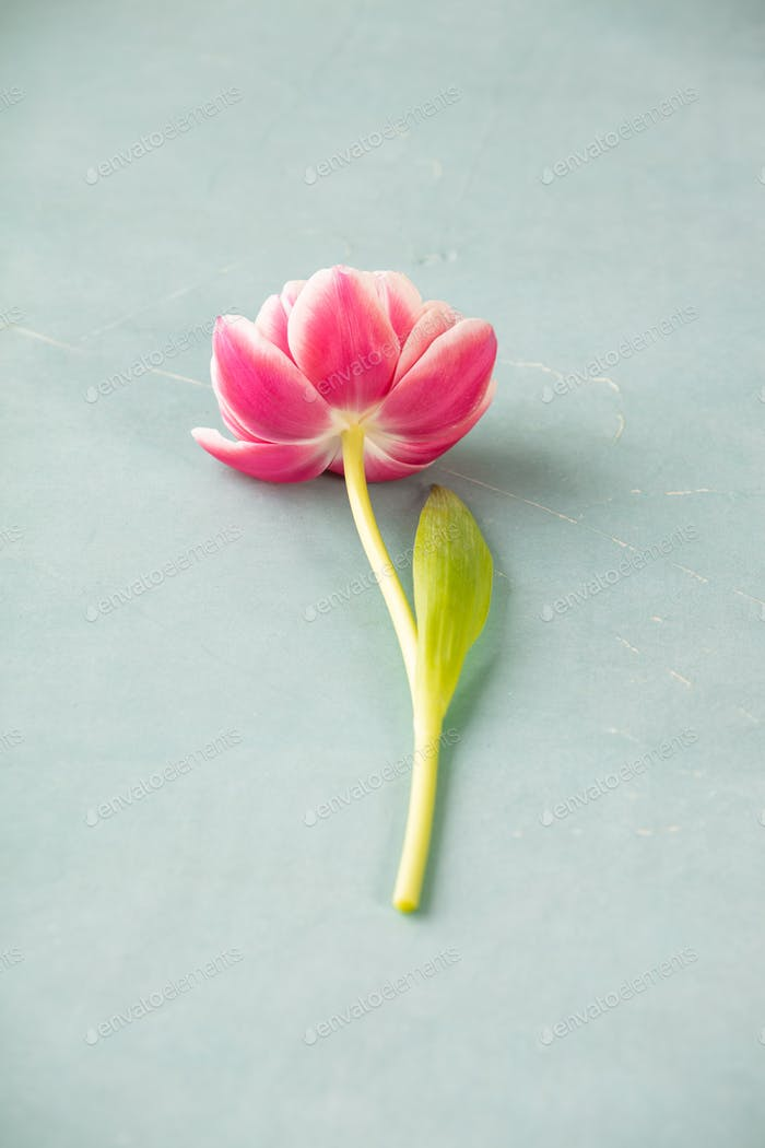 Pink tulips on blue background, top view