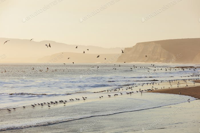 Sandpipers and gulls flying across surfDrakes Beach, Point Reyes National Seashore, California