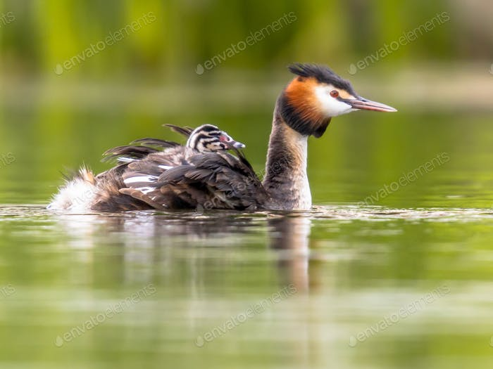 Great crested grebe swimming with chicks