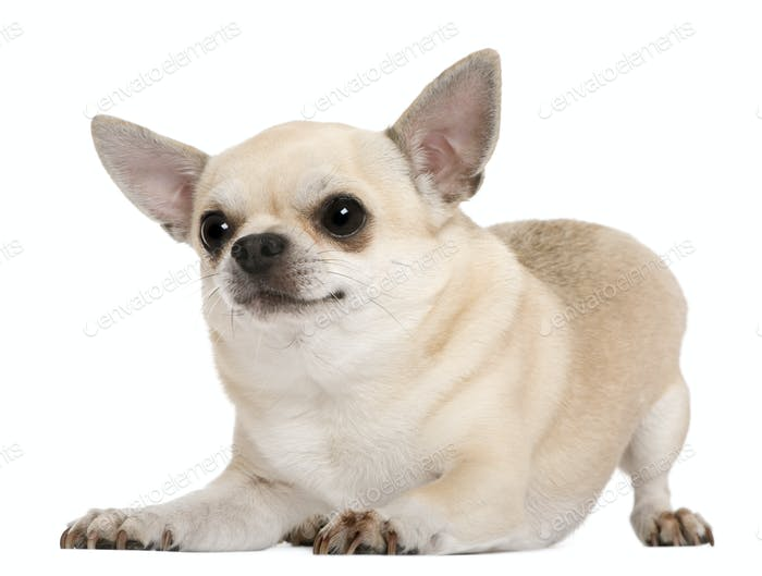 Chihuahua, 5 years old, in front of white background
