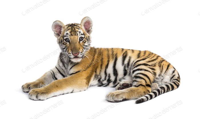 Two months old tiger cub lying against white background