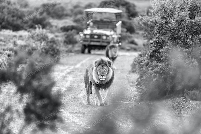 Two Monochrome male lions