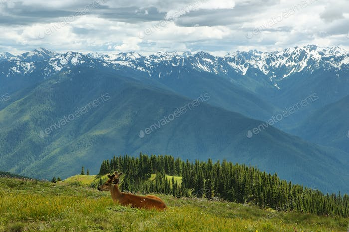 Hurricane Ridge of Olympic National Park, WA, USA