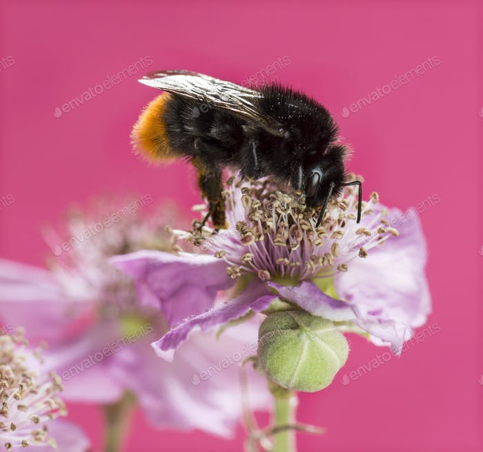 Red-tailed bumblebee, Bombus lapidarius, foraging on a flower in front of a pink background
