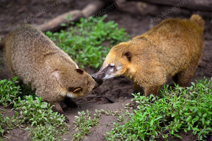 South American Coati (Nasua), wild animals looking like raccoon