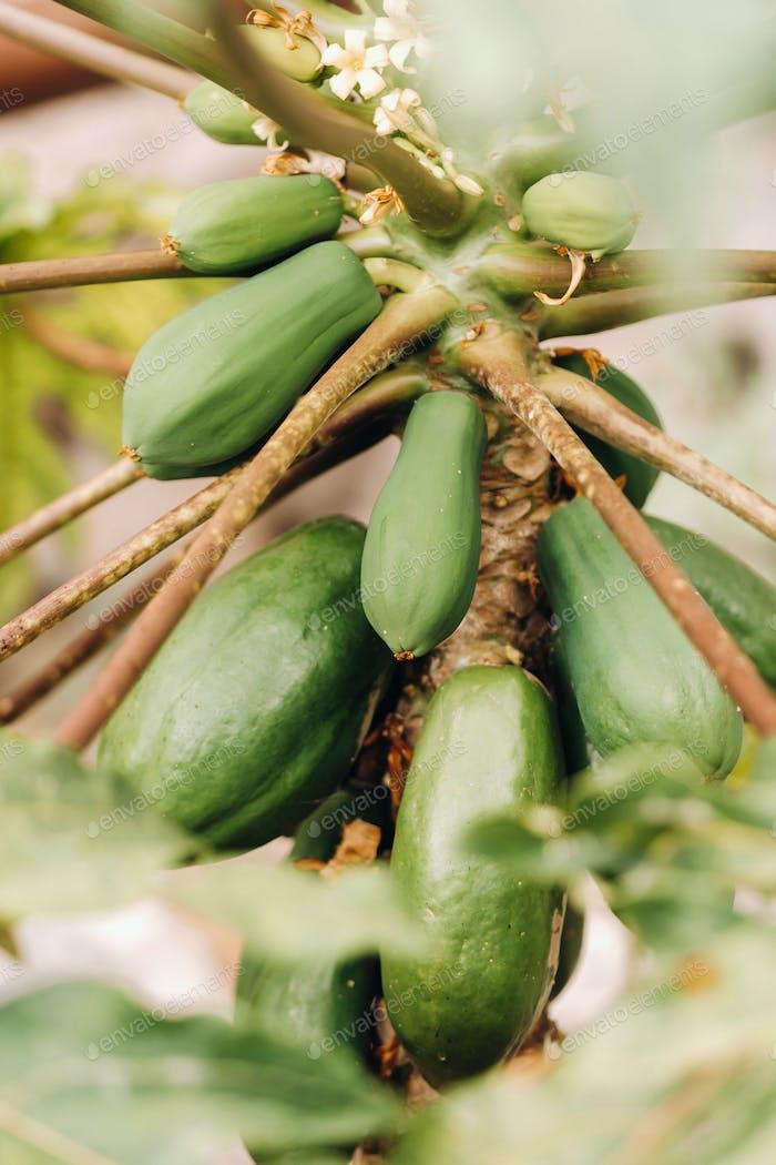 green papaya fruit hanging on the tree. Papaya plantation.Papaya in the Canary Islands.Tenerife