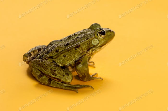 Common Water Frog in front of an orange background