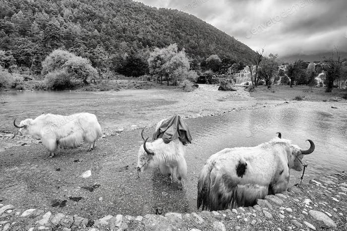 Yaks at the White Water River bank, China.