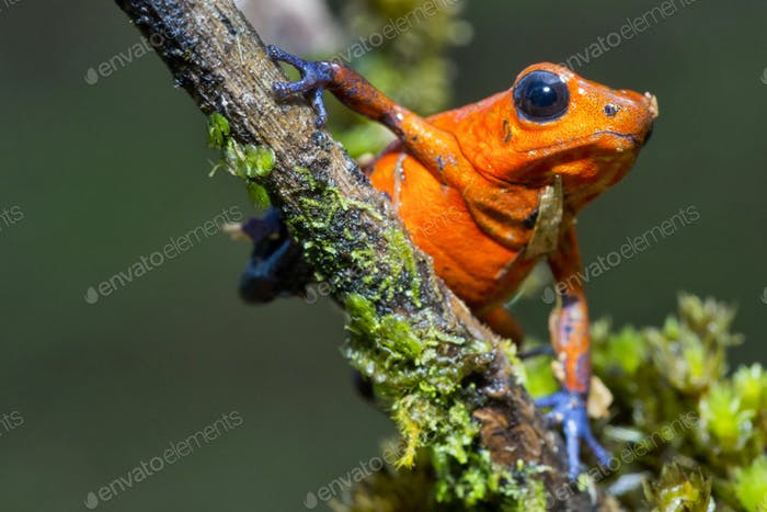 Dart Poison Frog, Tropical Rainforest, Costa Rica