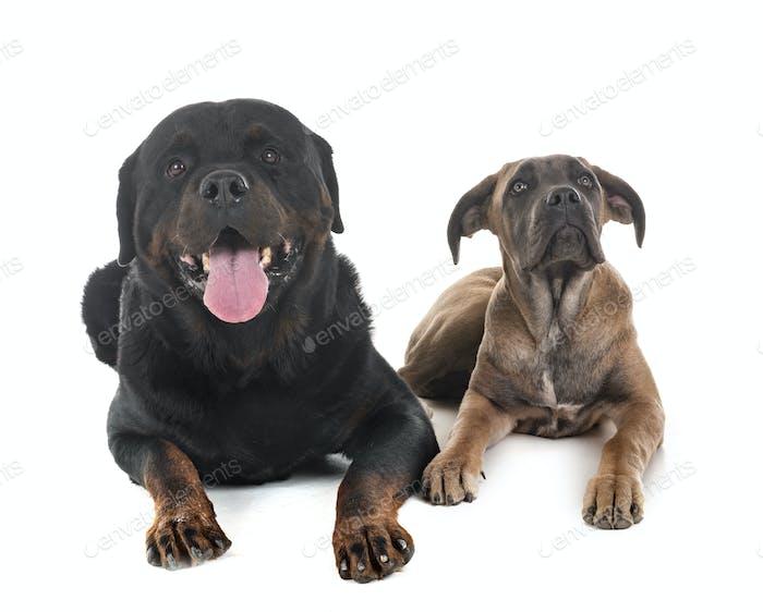 Welpen Italienisch Mastiff und Rottweiler