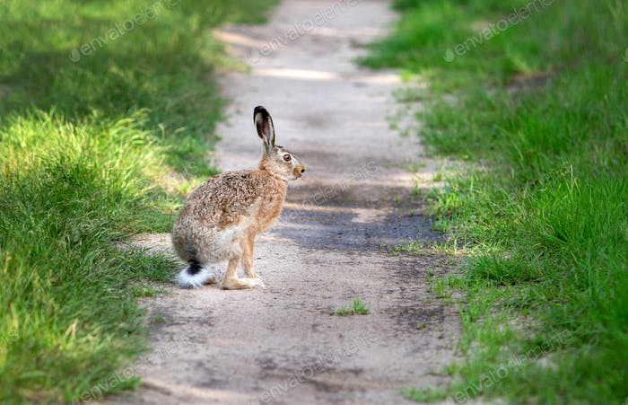 Hare at the forest path