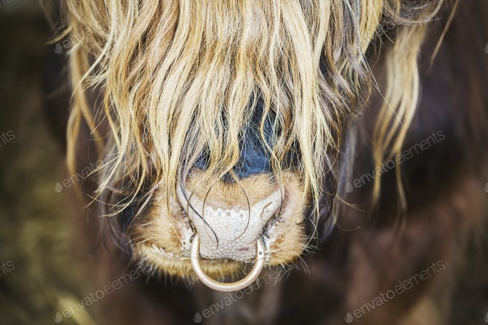 Close up of a long haired bull with a nose ring.