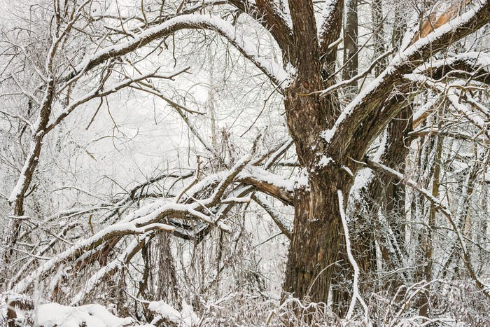 Snow-covered Tree In Winter Frosty Forest. Trees In Snow