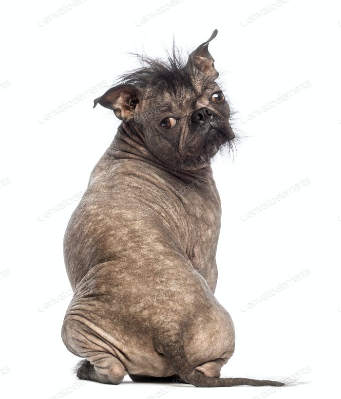 Rear view of a Hairless Mixed-breed dog, mix between a French bulldog and a Chinese crested dog