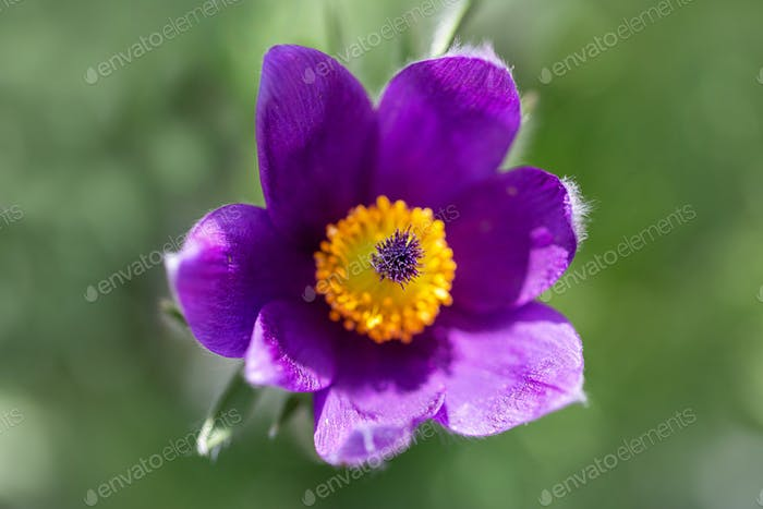 Pasque flower - Pulsatilla vulgaris