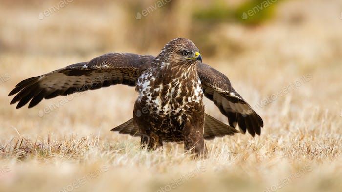 Common buzzard landing on meadow in autumn nature