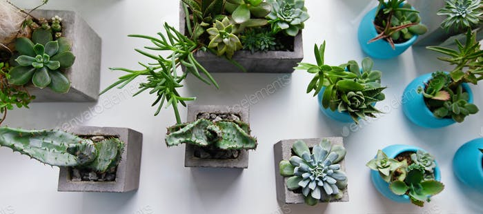 Succulents, cactus, Haworthia and attenuata on white table