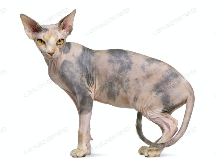 Sphynx cat, 1 year old, standing in front of white background