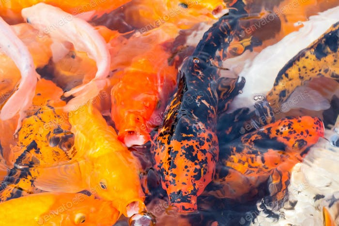 colorful koi fish closeup