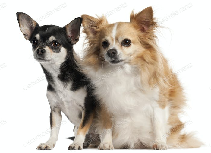 Chihuahua, 8 and 3 years old, sitting in front of white background