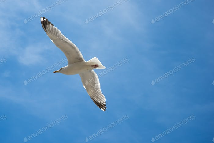 Seagull are flying in the blue sky and clouds background