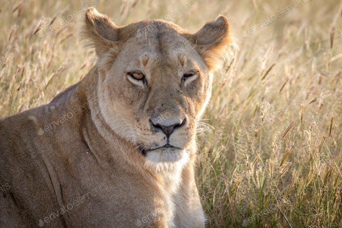 Cerca de una Mujer León en Chobe.
