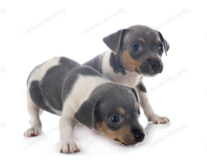 puppies brazilian terrier in studio