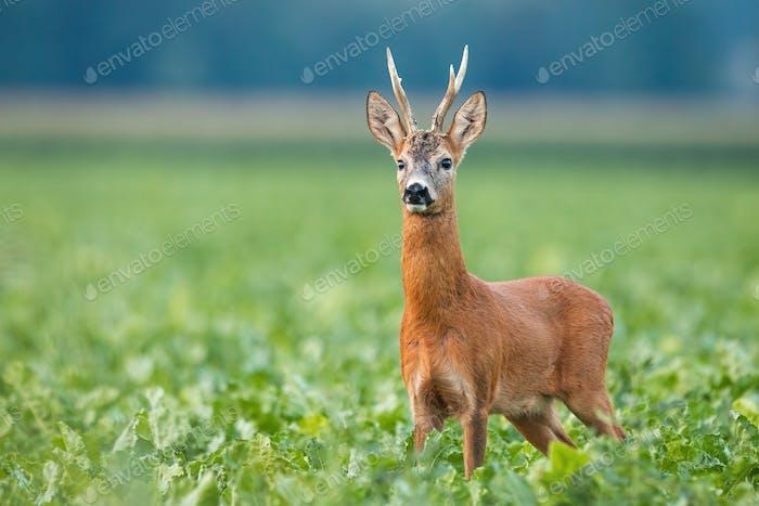Alert roe deer buck standing on field in summer nature