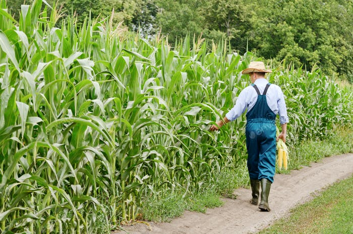 Walking along field middle age farmer inspecting maize at field