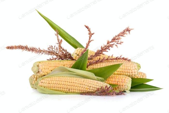 Corn in cobs