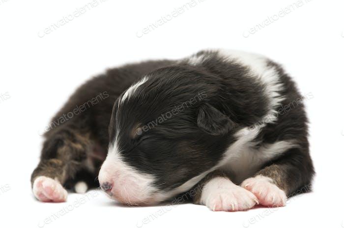 Australian shepherd puppy, 12 days old, lying and sleeping against white background